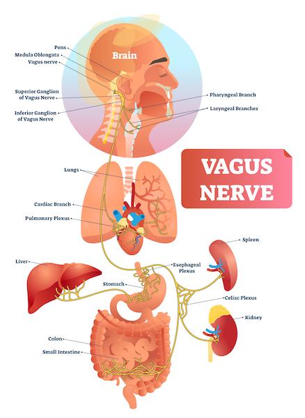 Vagus Nerve 600x600 1 Darm, Immunsystem und Psyche